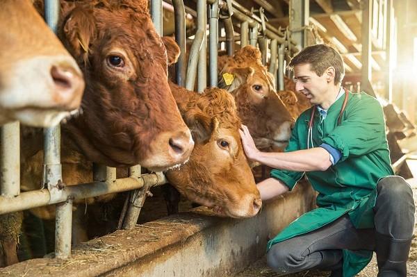 Ajutor de stat pentru crescătorii de bovine. Cererile se primesc la APIA Timiş