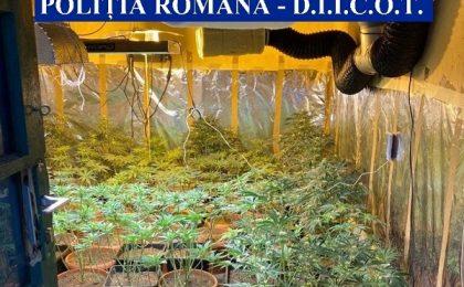 Plantații de cannabis în vestul țării. Cultivatorii, reținuți pentru audieri