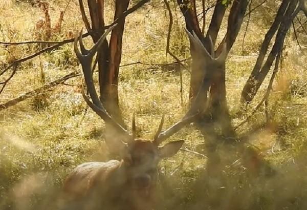 Imagini rare cu un cerb în perioada boncănitului, în Banat. Video