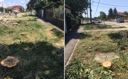 Pe Calea Bogdăneștilor din Timișoara, copacii nu mor în picioare