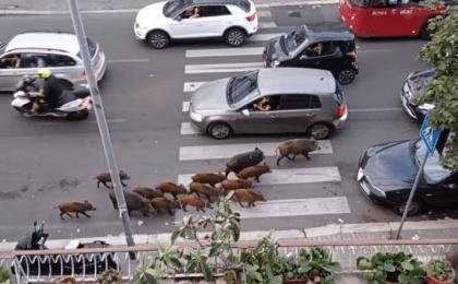 Invazie de mistreți pe străzile din Roma