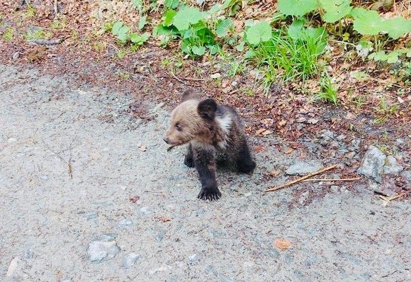 Video / Doi pui de urs au rămas blocați într-un tomberon din Poiana Brașov
