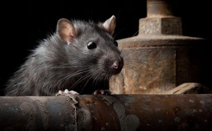 Timişorenii nu vor șobolani