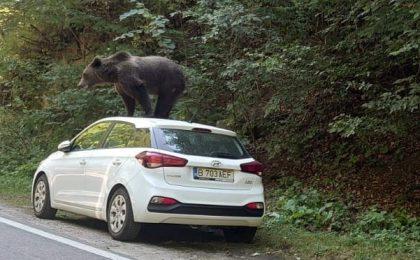Un urs a fost fotografiat cocoțat pe o mașină într-o zonă turistică din Argeș