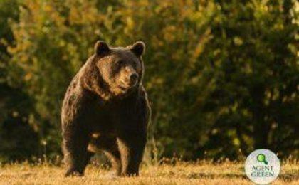 Uciderea ursului Arthur: Anchetă a DNA privind eliberarea autorizației de împușcare